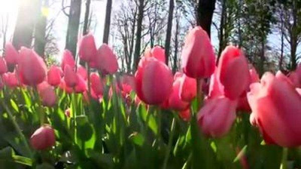 Campos de tulipas na Holanda, veja que coisa mais linda de se ver!!!
