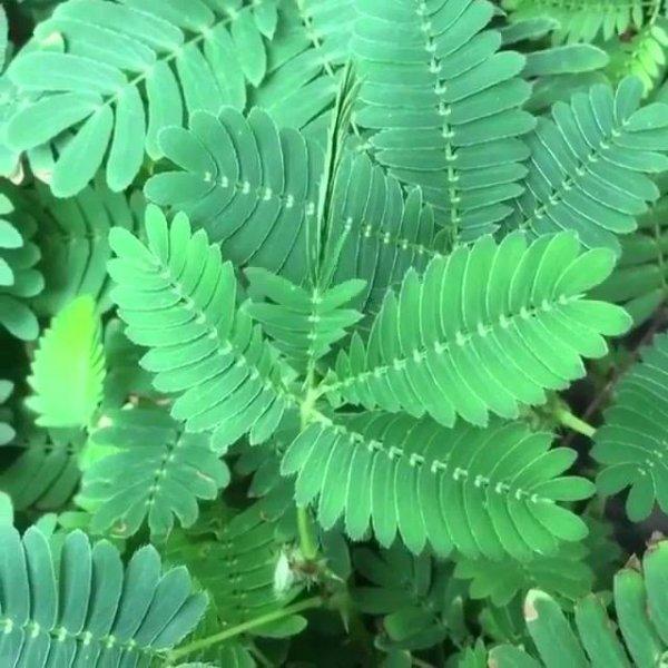 Dormideira se fechando, como é delicada esta planta, confira!!!