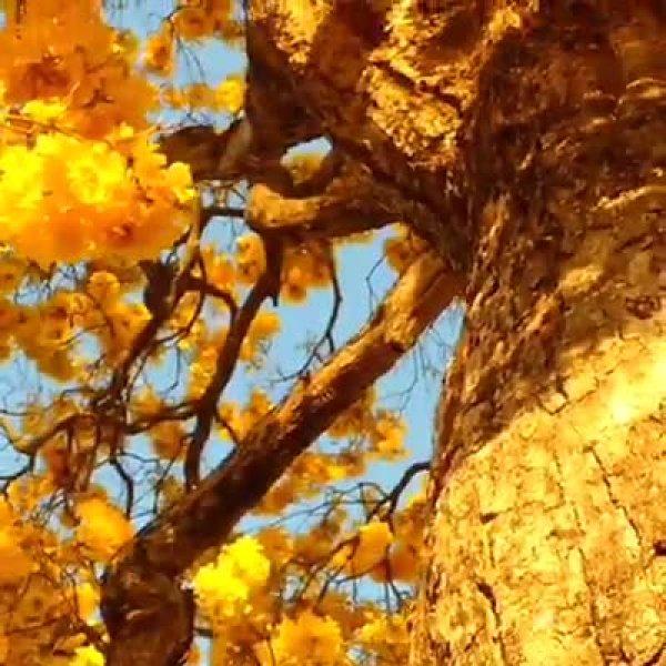 Pássaros fazendo uma bagunça em árvore de Ipê amarelo, que lindo!