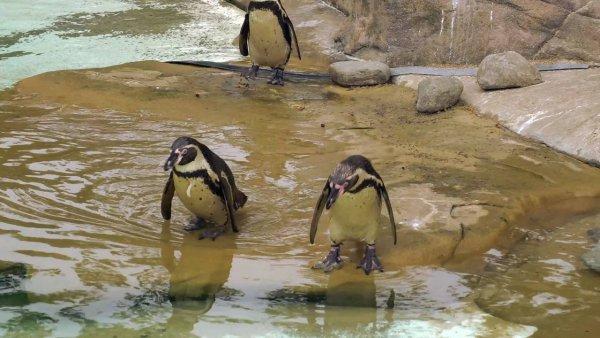 Pinguins são aves da família Spheniscidae, veja um pouco deles!