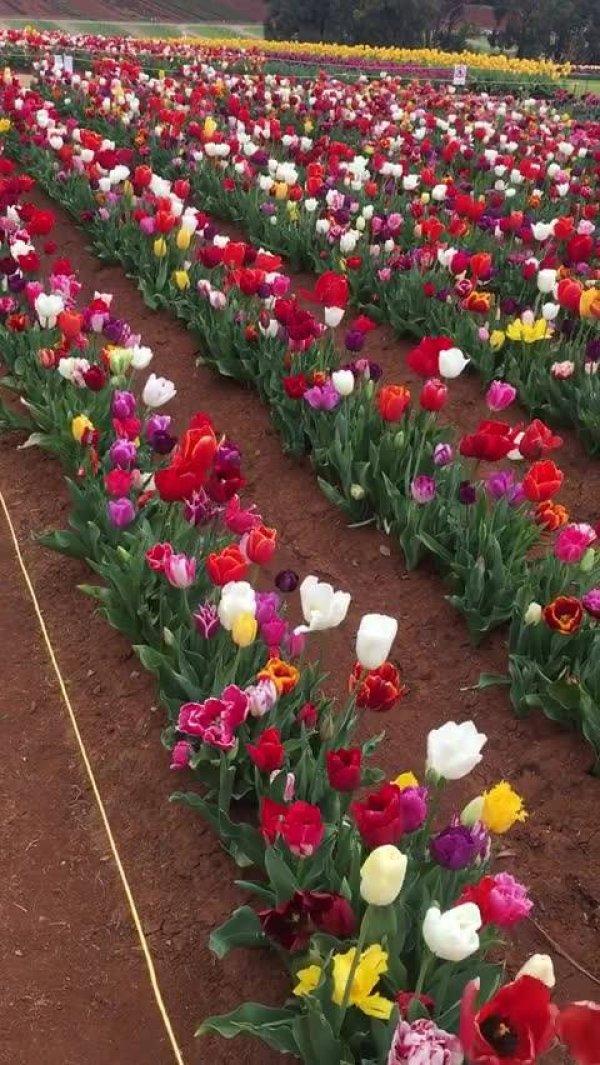 Vídeo com lindo campo de tulipas, olha só que imagem maravilhosa!!!