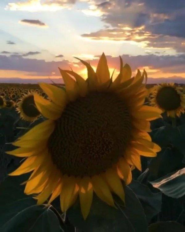 Vídeo com lindo pôr do sol em um campo de girassóis, natureza espetacular!!!