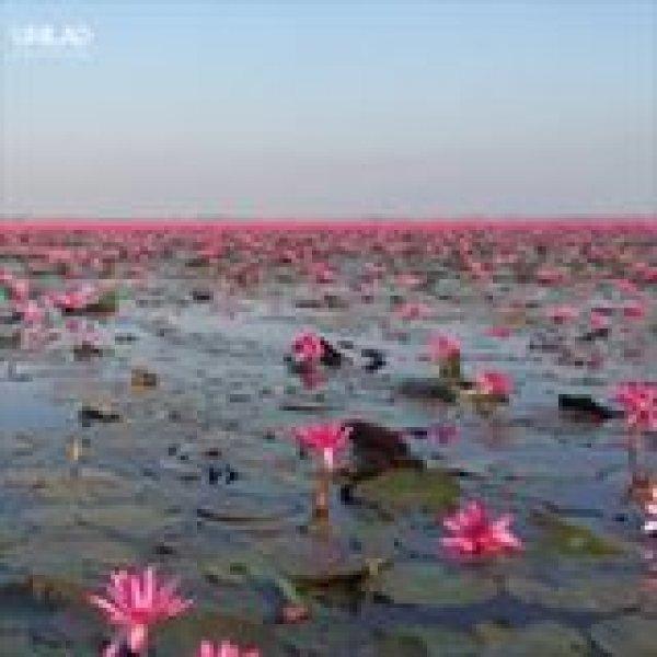 Vídeo mostrando mar de lótus na Tailândia, veja que vídeo magico!!!