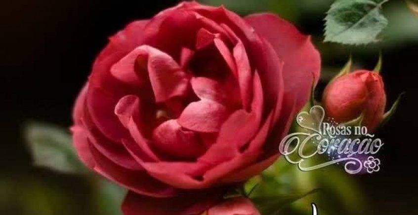Mensagem De Boa Noite Linda Para Amiga Você é Muito: Mensagem De Boa Noite Para Amiga! Que Estas Rosas Lhe